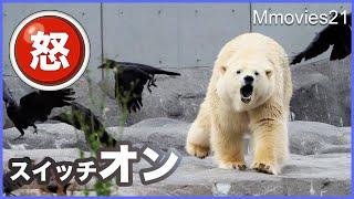怒りのスイッチが入る瞬間【ホッキョクグマ】リラは何を守っている? Polar Bear VS Crows