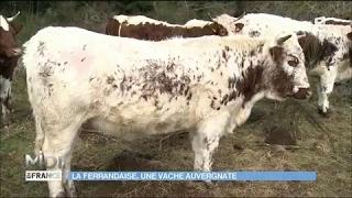 La Ferrandaise : une vache auvergnate