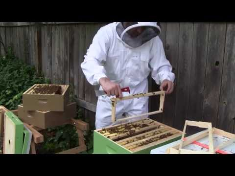 Bee Vlog #103 - May 25, 2013 - Inspect all the hives! Post swarm & cutout follow-up