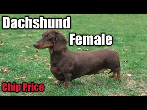 Dachshund female for sale || Dyson puppy for sale || Dyson breed puppy ||