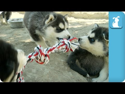 Husky Puppy Rope Battle! Too Cute - Puppy Love
