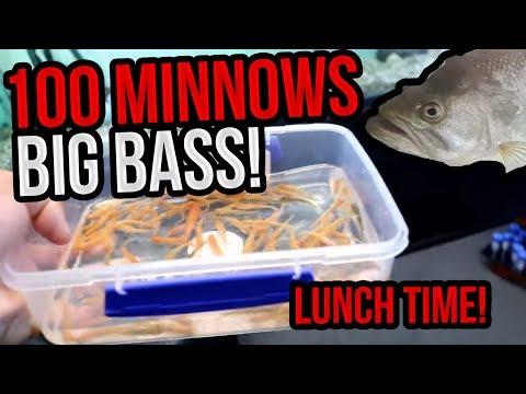 Big Bass Enhales 74 Minnows In 10 Minutes! [HD] (Bass Fishing W/ Dyna)
