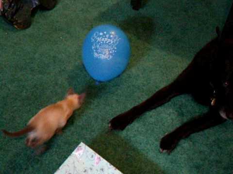 Kitten vs. Balloon