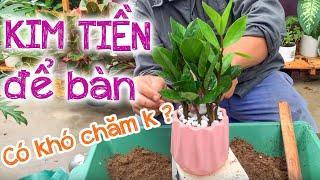 10 - Hướng dẫn trồng và chăm sóc cây Kim tiền để bàn (Phần 1) - Cây cảnh Chợ Hàng