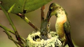 Mother and Baby Hummingbirds in Nest from Hatch to Fledge