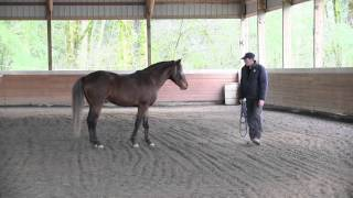 Stunning Rocky Mountain Horse - Free lunging