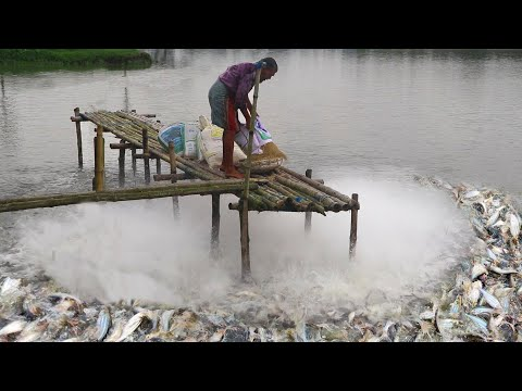 Millions Of Fish Fly Out Of Pond During Fish Feeding Time