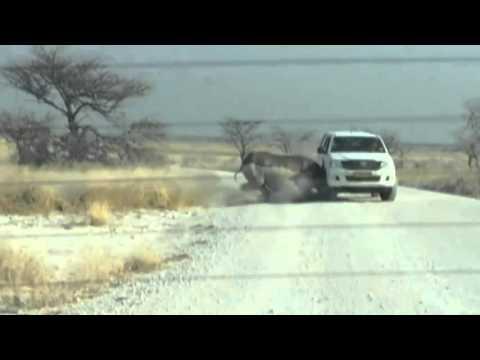 Video: Rhino road rage in Namibia