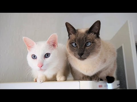 Siamese Cat Breed Information: Behavior, Needs, Compatibility, Care, Health & more
