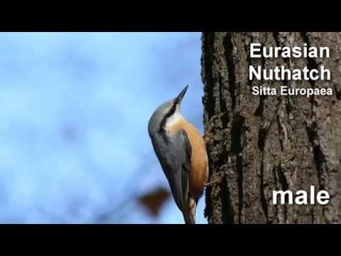 Nuthatch ~ Eurasian Nuthatch Bird Call  BIRDSONG