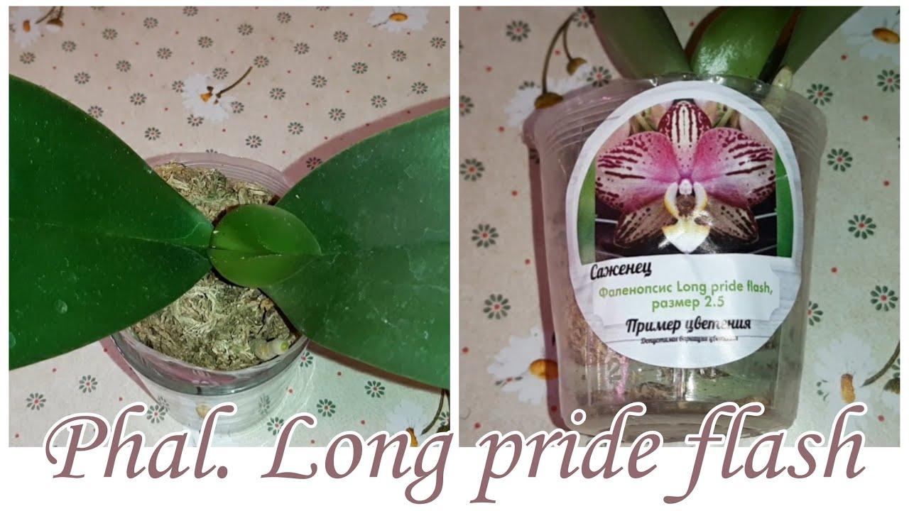 Phal. Long pride flash в размере 2,5'| Обработка Листьев Орхидеи водкой | Полив после пересылки