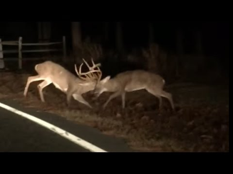 North Carolina Bucks Fight It Out On The Side Of The Road!