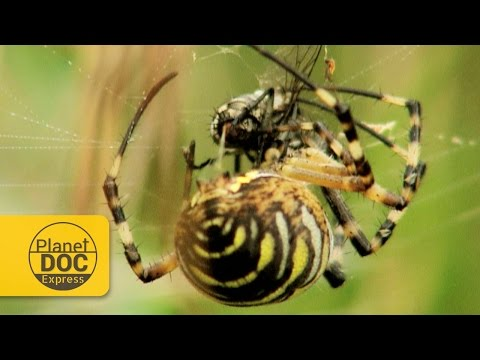 Wasp Spider Documentary | Planet Doc Express