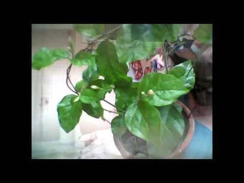 Жасмин саженцы ✅ Садовые цветы выращивание и уход с hitsadtv .