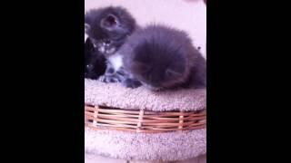 Котята мейн кун из питомника мейн кунов Ascent71.ru