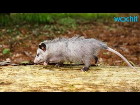 Opossums Are a Ticks Greatest Enemy