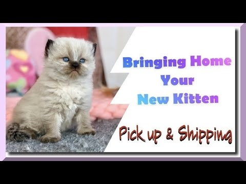 Bringing Home your New Kitten | Pick up & Shipping | Information Series Part 3