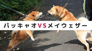 秋田犬VS柴系ミックス犬!世紀の大一番。犬版パッキャオVSメイウェザー ...