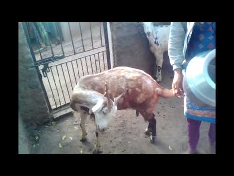 Village How Young Desi Girl Get Milk From Goat thumbnail