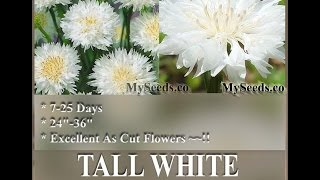 Tall White Bachelor Button Seed - Centaurea Cyanus Flower Seeds On  Www.myseeds.co