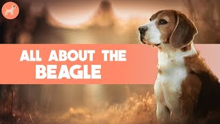Beagle: Dog Breed Information