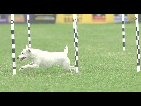 Full 30 Weave Up & Back - 2016 Purina® Pro Plan® Incredible Dog Challenge® National Finals
