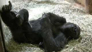 Gorilla Kicking Back With Feet In Air CM Zoo