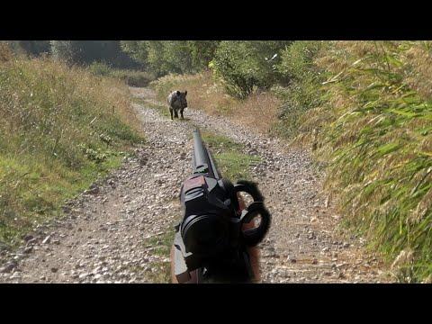 Sazlıkta azılı yaban domuzu avı / Wild boar hunting!
