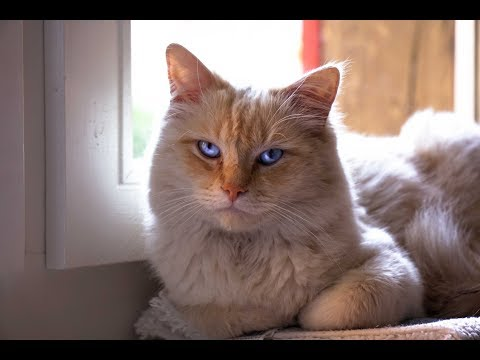 A Ragdoll cat's live