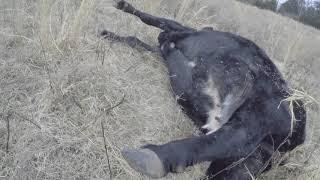 Zapętlaj Roping mad cow   Sadlon CattleCompany