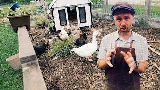 Here's How I'm Geтting Chickens to Do The Gardening