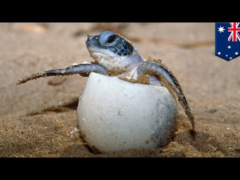 Sex and climate change: 99% of north GBR sea turtles now female thanks to global warming