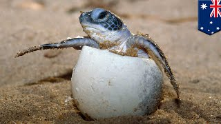 Video Sex and climate change: 99% of north GBR sea turtles now female thanks to global warming - TomoNews download MP3, 3GP, MP4, WEBM, AVI, FLV Maret 2018