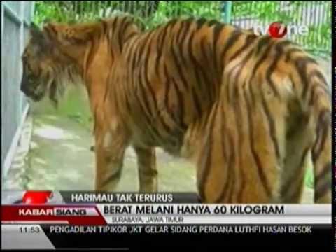 Makanan Harimau Kbs Mengandung Formalin Youtube