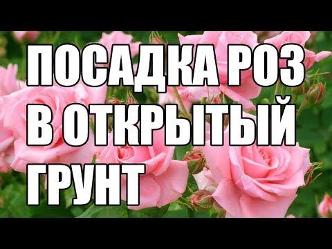 Сажаем розы в открытый грунт