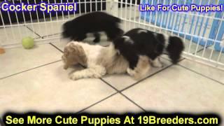 Cocker Spaniel, Puppies For Sale, In, Bellevue, Washington, Wa, Yakima, Kitsap, Thurston, Clark, Spo