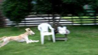 かい(北海道犬)は一生懸命だけれど、せら(サルーキ)は余裕の走りです.