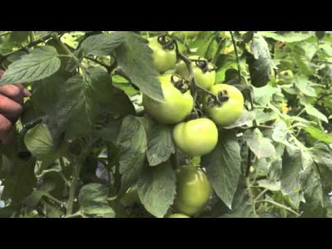 Tomato Farm @ Cameron Highlands