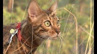 Домашний зоопарк: Бенгальская кошка