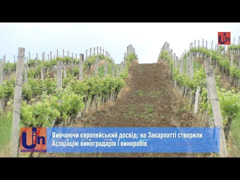 Вивчаючи європейський досвід: на Закарпатті створили Асоціацію виноградарів і виноробів