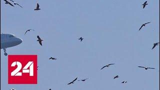 Момент столкновения самолета с птицами в Подмосковье попал на видео - Россия 24