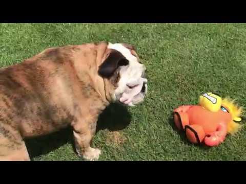 reuben-the-bulldog-reuben-vs-the-troll