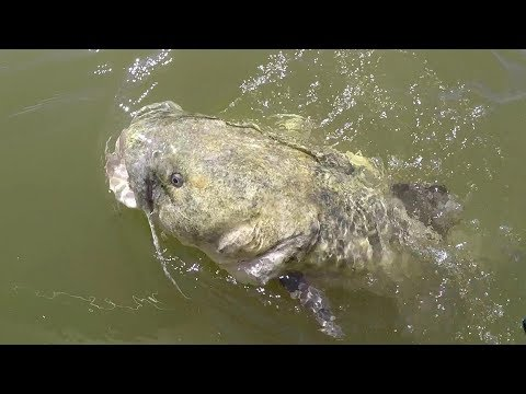 Fishing Rock Piles For BIG Flathead Catfish
