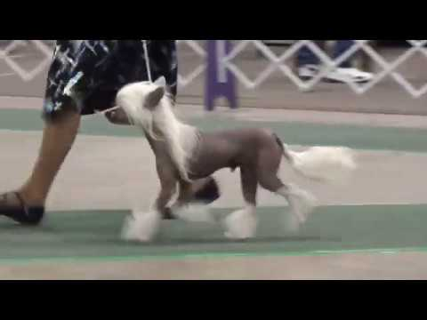 Valley Forge KC 12-09-2018 Chinese Crested Dog Classes
