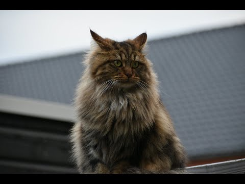 See My Maine Coon Grow Up In 8 Minutes!
