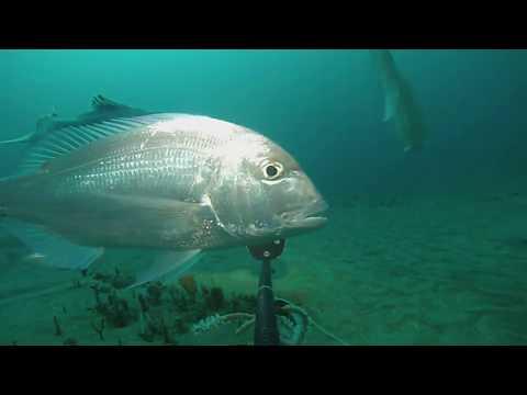 The Seventy-four Fish (Polysteganus Undulosus)