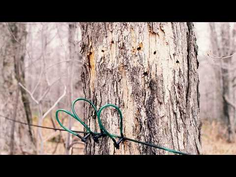 Reduced sap yields from tapping into stained wood
