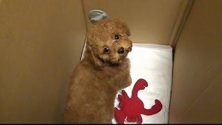 家に迎える前のトイプードルの子犬が交流で家にやってきた thumbnail