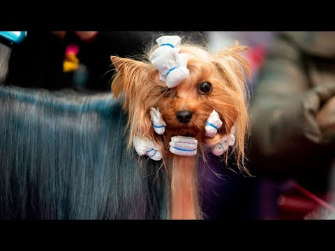 Backstage Beauty at the Westminster Dog Show