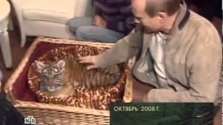Русский тигр  Документальный фильм 2013